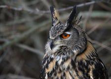 Eurasian Eagle Owl Sideview Royalty Free Stock Photo