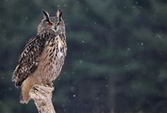 Eurasian Eagle Owl Sitting Royalty Free Stock Photo