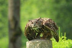 Eurasian eagle-owl Royalty Free Stock Images