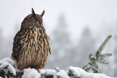 Eurasian Eagle Owl sitting on coniferous tree. In winter time Royalty Free Stock Photo