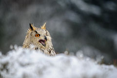 Eurasian Eagle Owl sitting on the ground with snow and shout stock photography