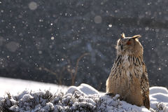 Eurasian Eagle Owl sitting on ground when snowing. Dark forrest is in the background Royalty Free Stock Photos