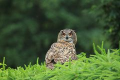 Eurasian eagle-owl Royalty Free Stock Images