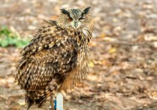 Eurasian eagle-owl sitting with one eye closed Stock Images