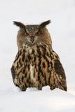 Eurasian eagle-owl Royalty Free Stock Photography