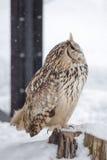 Eurasian Eagle Owl stock images