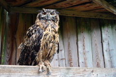 Eurasian eagle owl Stock Images