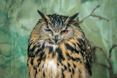 A portrait of an Eurasian Eagle Owl winking stock photo