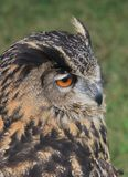 Eurasian Eagle Owl 2 Royalty Free Stock Image