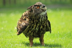 Eurasian eagle-owl. Standing on the grass stock photography