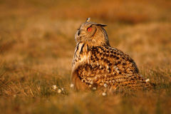 Eurasian eagle owl. Eurasian eagle-owl staring at daylight, Czech Republic stock photo
