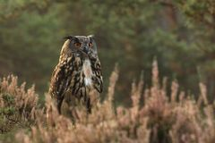 Eurasian eagle-owl stay in heather in summer - Bubo bubo stock images