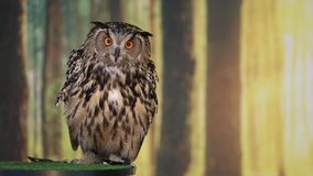 Eurasian eagle owl talking and looking into camera