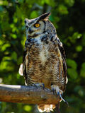 Eurasian Eagle Owl on the tree Stock Image
