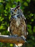 Eurasian Eagle Owl on the tree Stock Image