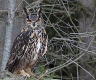 Eurasian Eagle Owl in a Tree Stock Photos