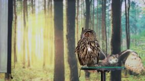 Eurasian eagle owl turning in slow motion stock video footage