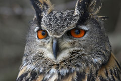 Eurasian Eagle Owl Up-Close fotografia stock