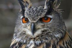 Eurasian Eagle Owl Up-Close Stock Photo