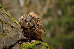 Eurasian Eagle Owl watching his hunt down mouse prey Royalty Free Stock Image