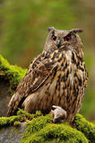 Eurasian Eagle Owl watching his hunt down mouse prey. On moss rock royalty free stock image