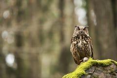 Eurasian Eagle Owl With Prey Stock Image