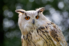Eurasian eagle-owl. At the zoo royalty free stock images