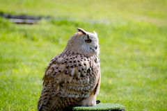 Eurasian eagle-owl. At the zoo stock images