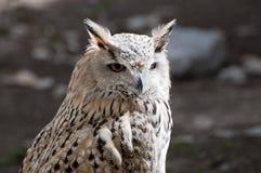 Eurasian Eagle-Owlis Royalty Free Stock Images