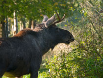 Eurasian elk Stock Image