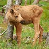 Eurasian Elk (Alces alces) Royalty Free Stock Photos