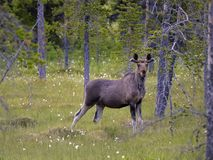 Eurasian elk or female moose Royalty Free Stock Photos