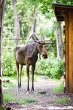 Eurasian elk Royalty Free Stock Photography