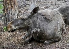 Eurasian elk 2 Stock Image