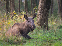 Eurasian Elk or Moose Royalty Free Stock Photos