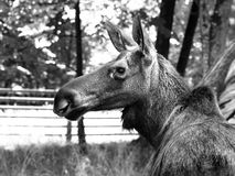 Eurasian elk profile Royalty Free Stock Photos