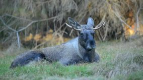 Eurasian elk stock footage