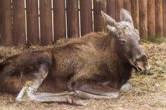 Eurasian elk resting Stock Photos