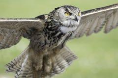Eurasian - Eurpopean - Eagle owl taking off. Eurasian eagle owl (bubo bubo) - also known as Eurpopean Eagle owl - taking off. The eagle-owl is from the higher Stock Photography