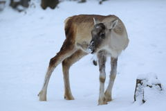 Eurasian forest reindeer Royalty Free Stock Images