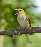 Eurasian golden oriole (Oriolus oriolus). On the branch of tree Stock Photos