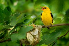 Eurasian Golden Oriole. Sitting near the nest and singing Stock Photography
