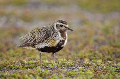 Eurasian golden plover Royalty Free Stock Images