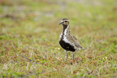 Eurasian golden plover Stock Photos