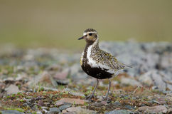 Eurasian golden plover Royalty Free Stock Photo