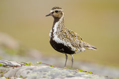 Eurasian golden plover Royalty Free Stock Photos