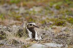 Eurasian golden plover Stock Images