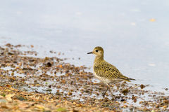 Eurasian Golden Plover Pluvialis apricaria, on beach with light background Stock Images
