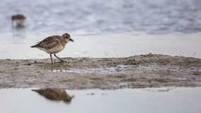 Eurasian Golden Plover Wading On Shore Royalty Free Stock Photography