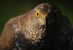 Eurasian Goshawk. The picture was taken in Hungary Stock Image